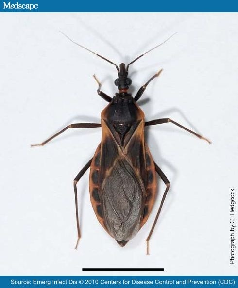 kissing bugs pictures. Adult female kissing bug of