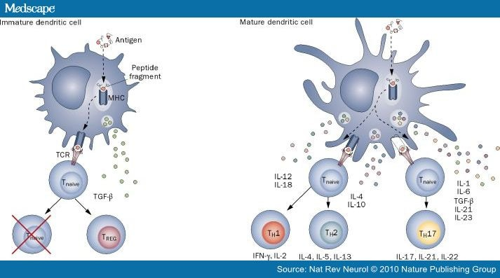 immature dendritic cells - photo #17