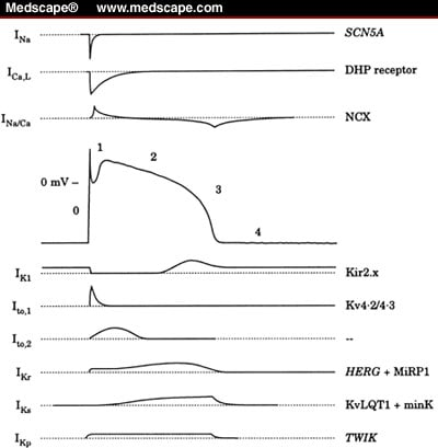 Ionic and molecular basis of the cardiac action potential.