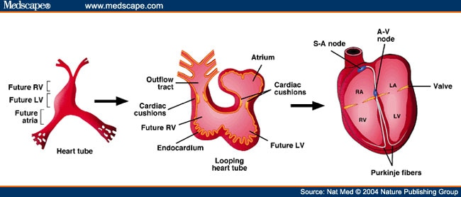 The looping heart tube gives rise to the ventricular and atrial chambers.