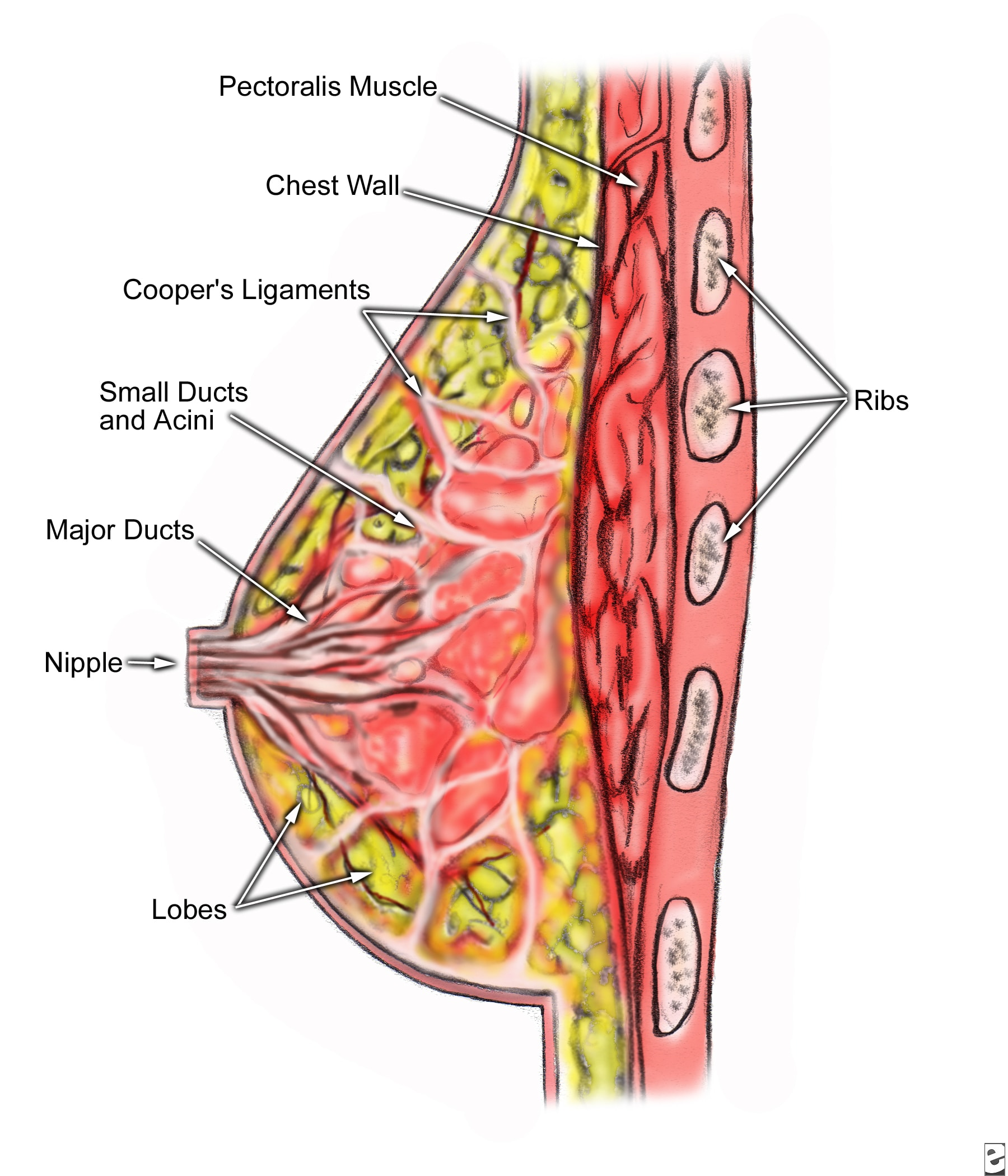 A cross-section of your boob