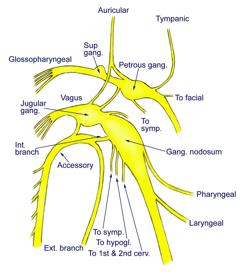 Vagus Nerve Diagram Vagus Nerve Diagram