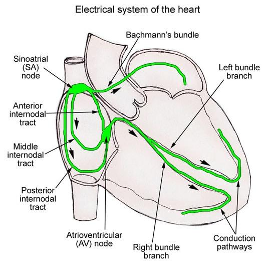 Conducting system of the heart rdiology de arun atrial depolarisation ventricular depolarisation atrial and ventricular repolarisation ccuart Choice Image
