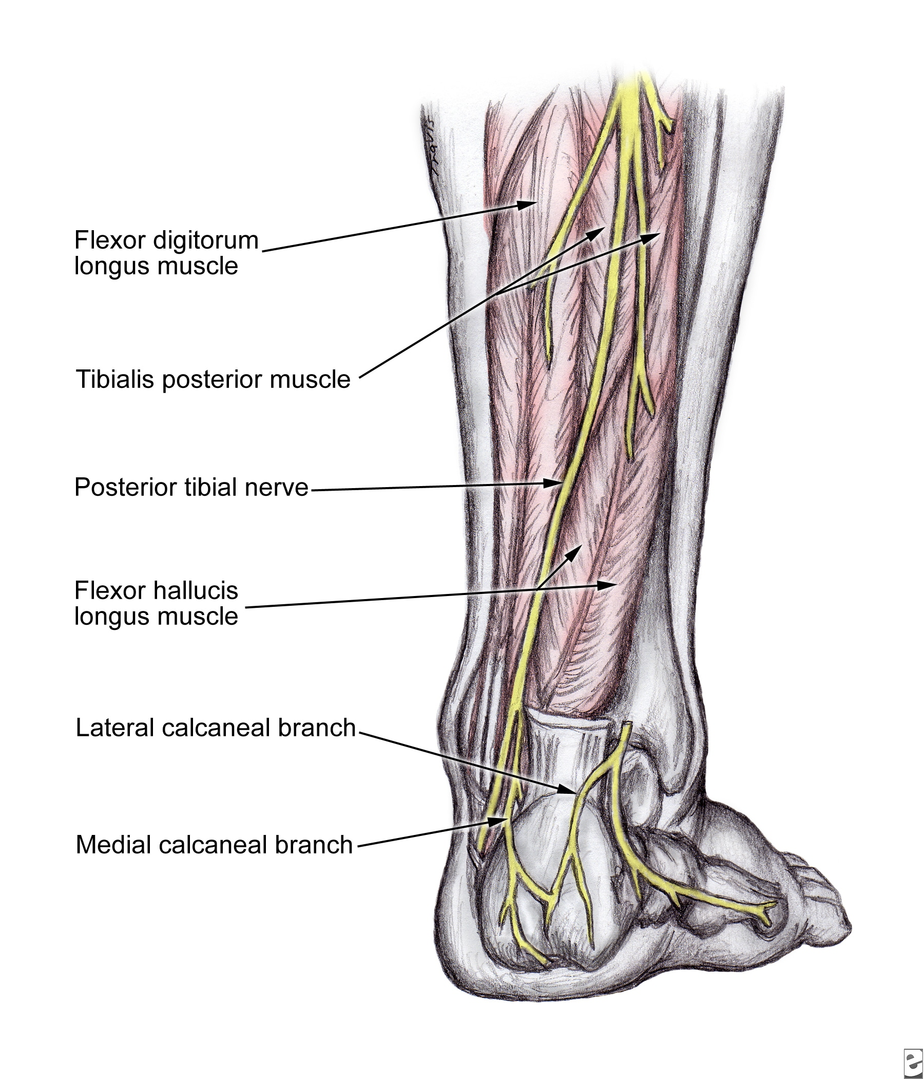 Nerves Of The Leg http://diseases.blogcu.com/nerve-block-posterior-tibial/6229247