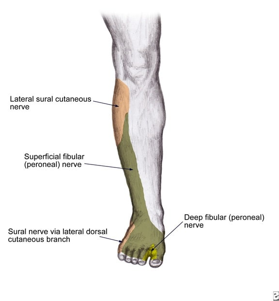 Lower Leg Nerves http://diseases.blogcu.com/nerve-block-superficial-peroneal/6229258