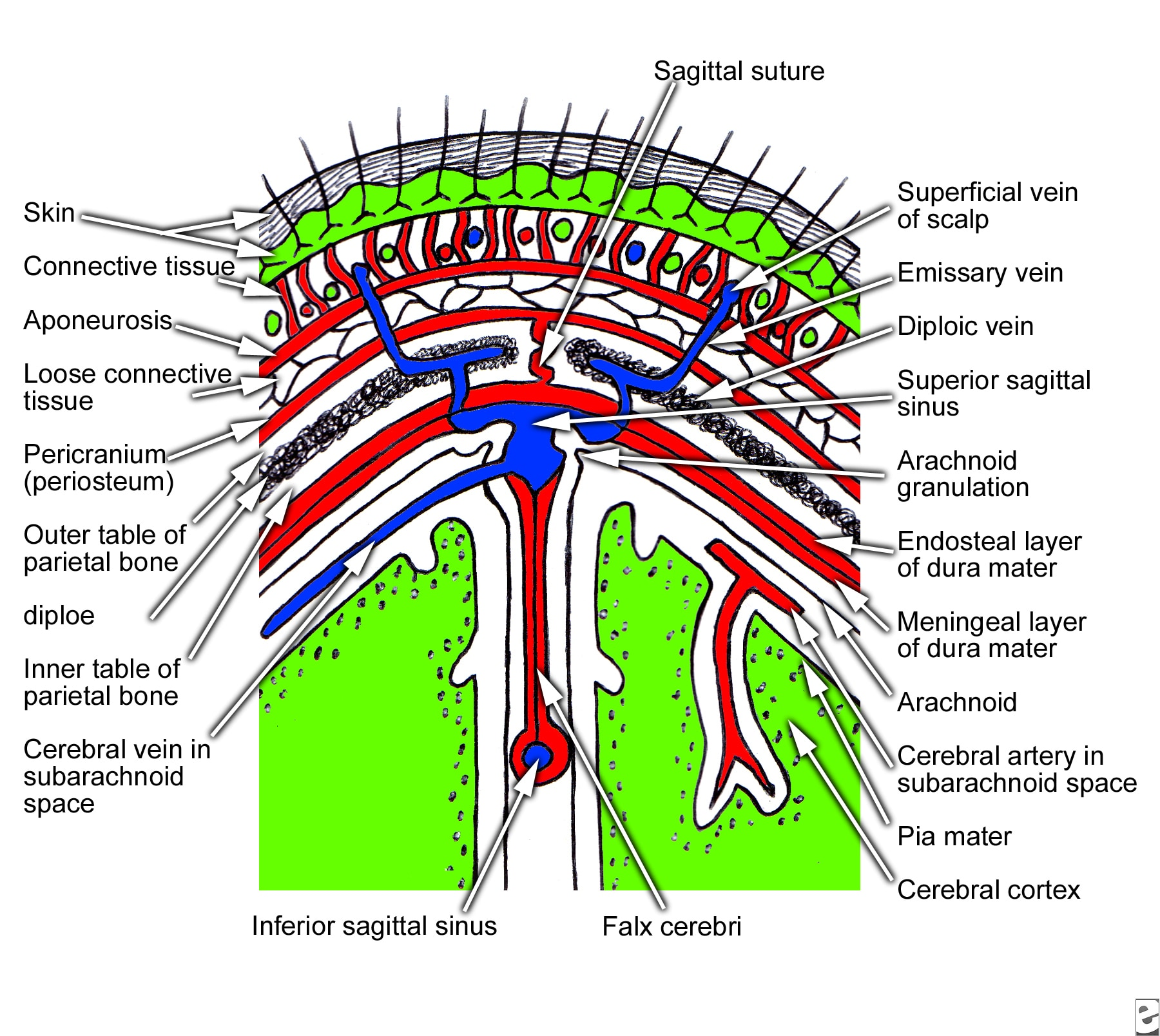 Coronal section of scalp that  shows layers of the...