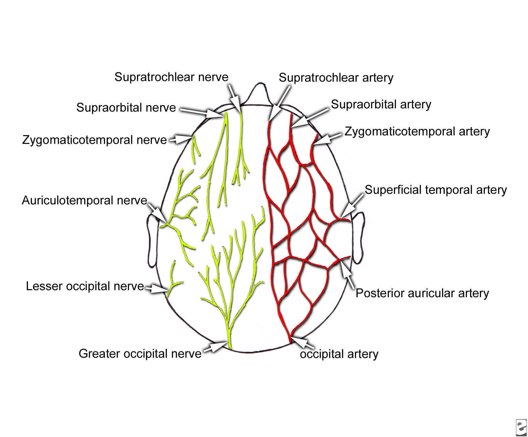 Sensory innervation and arterial  supply of the sc...