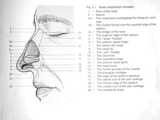 Nose anatomy. Image used with permission.