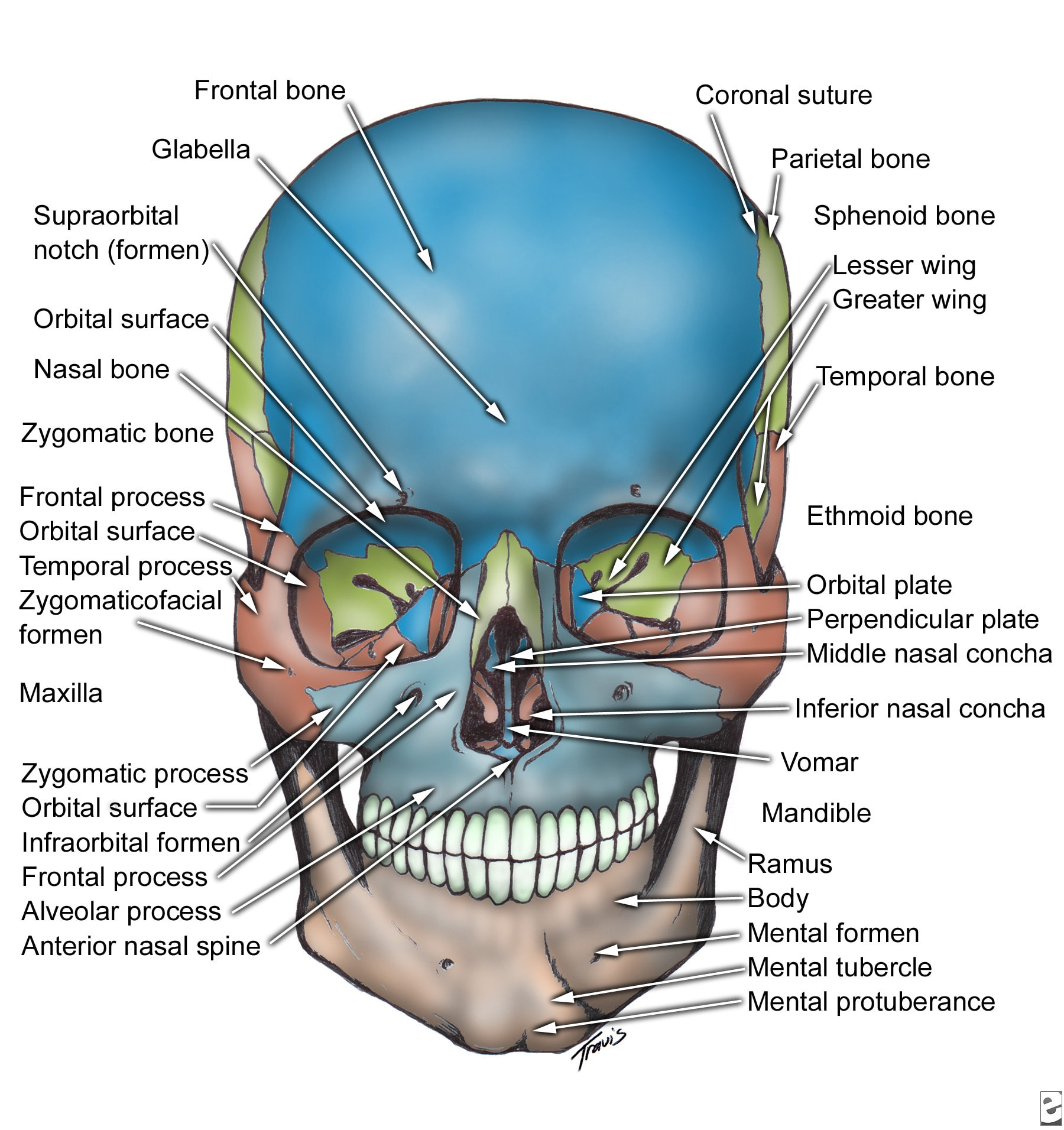 ORAL & MAXILLO-FACIAL SURGERY: Facial Bone Anatomy
