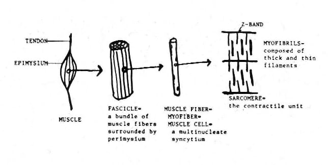 Basic constituents of skeletal muscle.