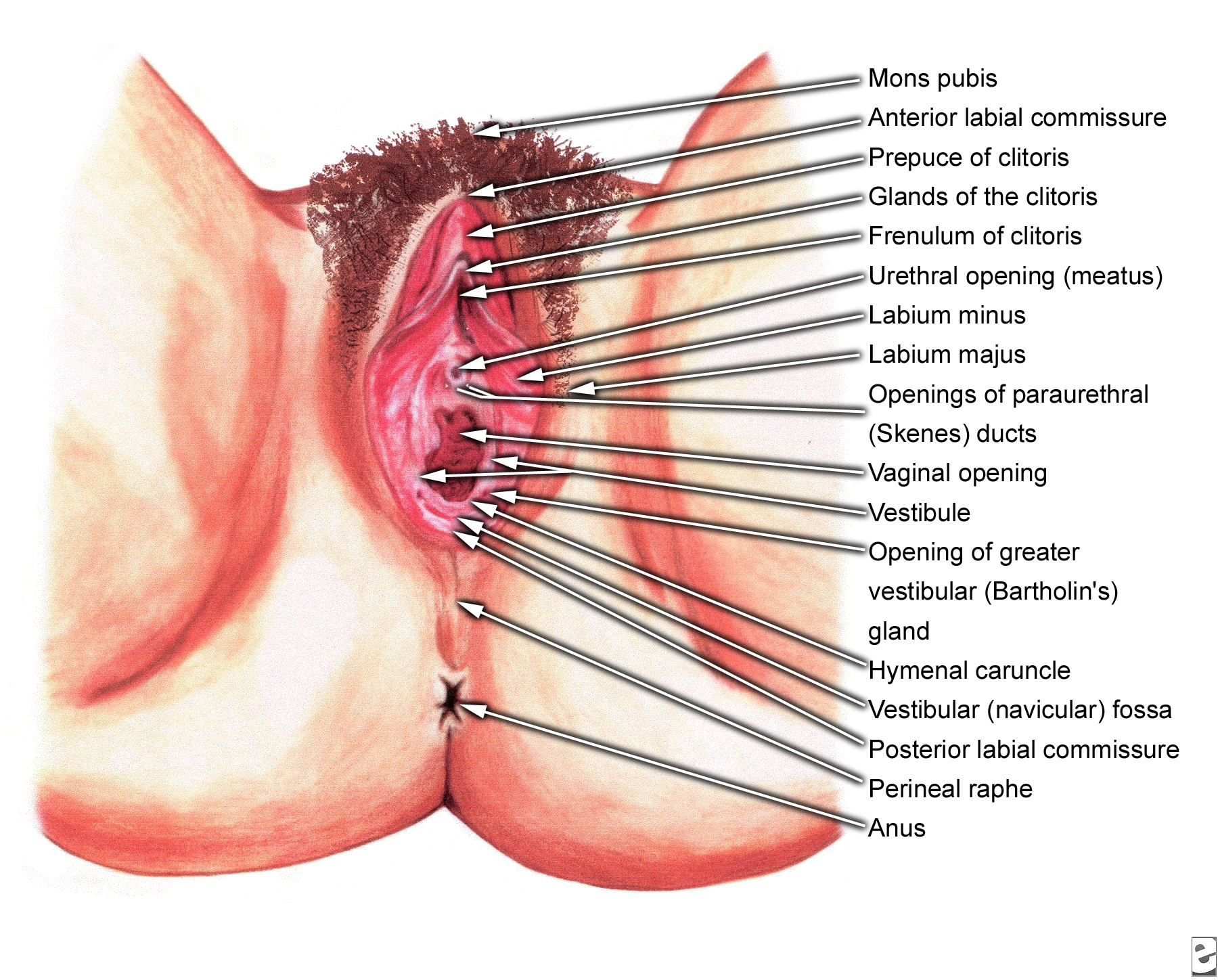 Female external genitalia, vagina - Normal - Vulva - Diagram, drawing
