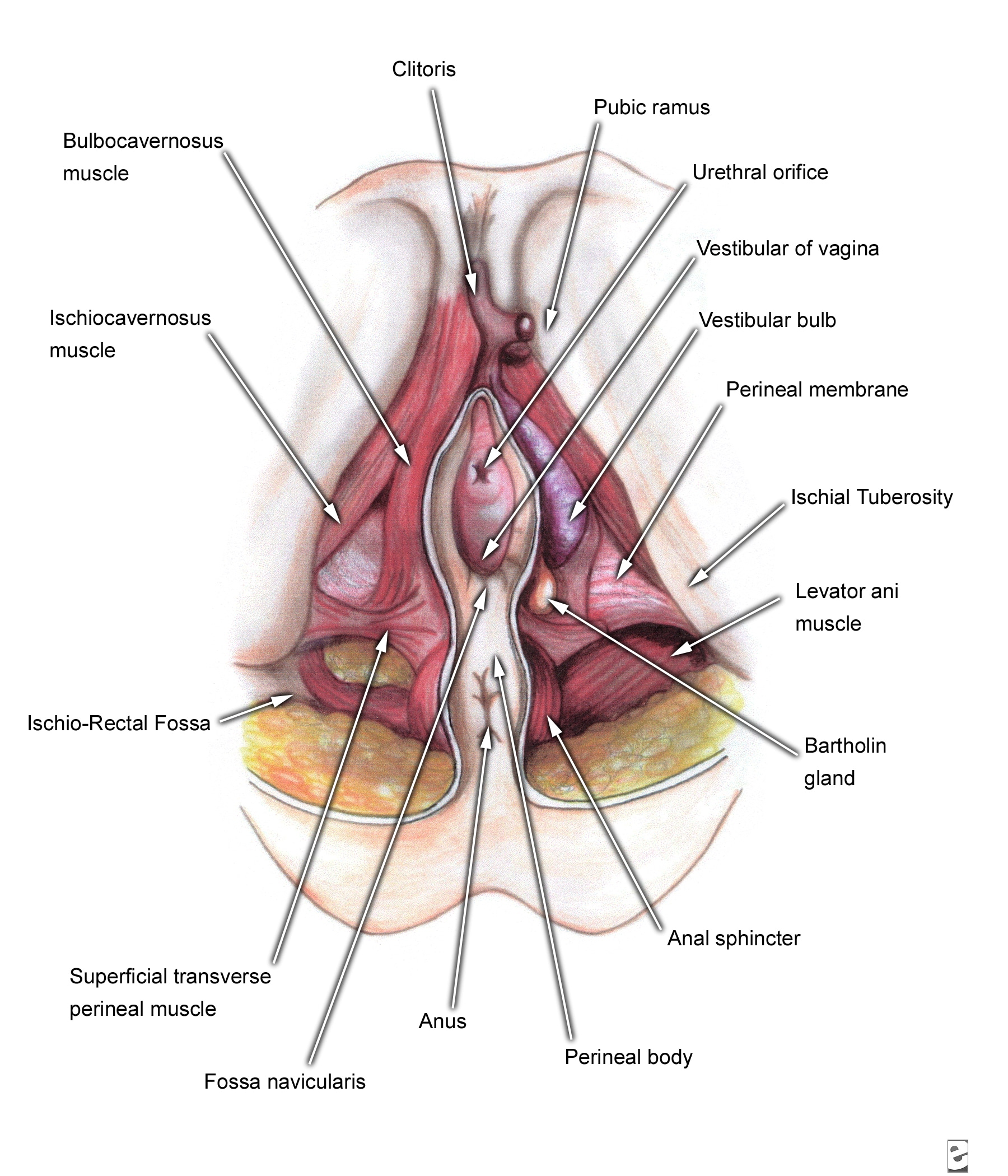 Diagram Of Vagina Unmasa Dalha Human Heart Diagrams Schematic
