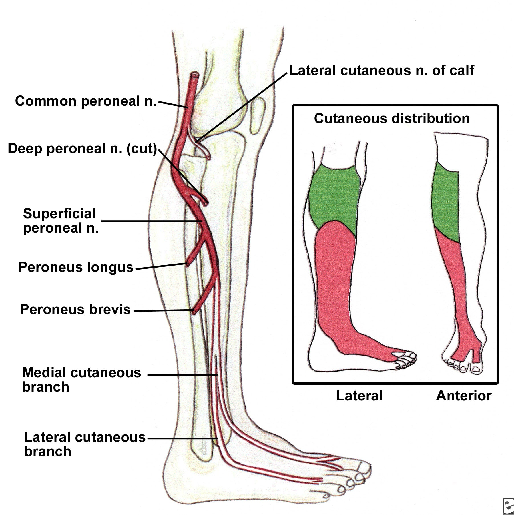 Superficial Peroneal Nerve Distribution