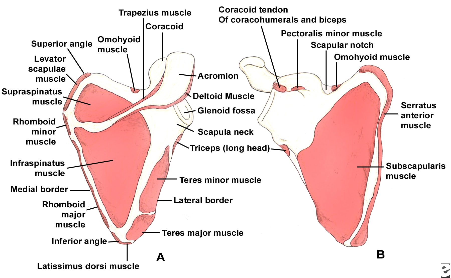 (Click Image to enlarge.) Scapular anatomy. Muscl...