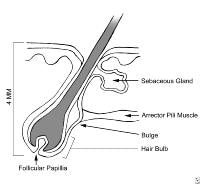 Pin Anatomy Of A Hair Follicle Hair Is Produced In Follicles Which Are ...