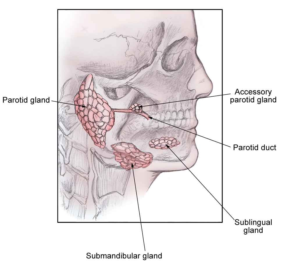 Parotid Gland Anatomy Ppt Choice Image - human body anatomy