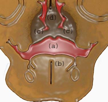 (a) Oral cavity; (b) tongue; (c)  palatal shelves ...