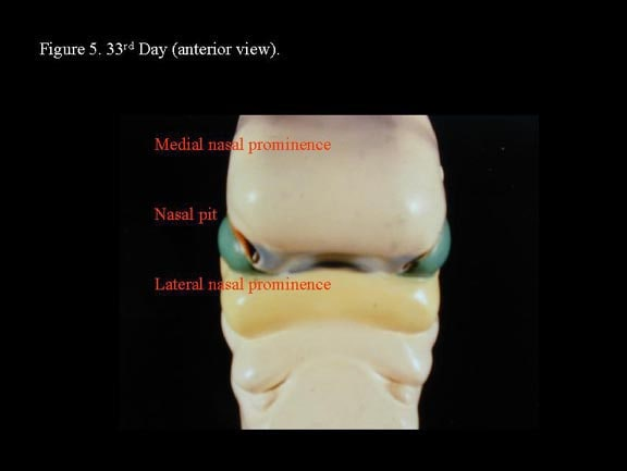 Head and neck embryology. 33rd  day (anterior view...