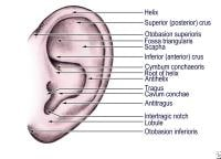 Auricular structure   Ear Cartilage Anatomy