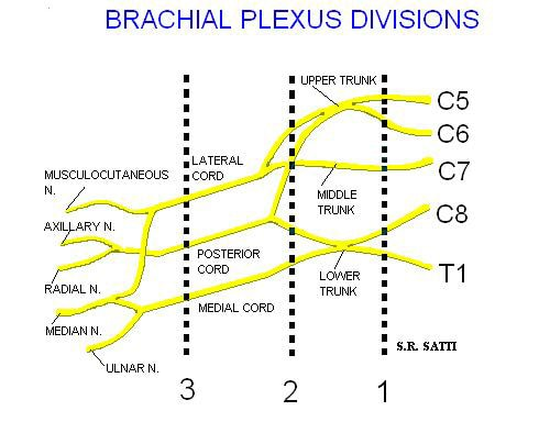 brachial plexus schematic - photo #12