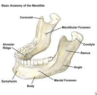 Mandible Diagram