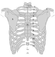 Posterior image of the thorax. The ribs are numbe...