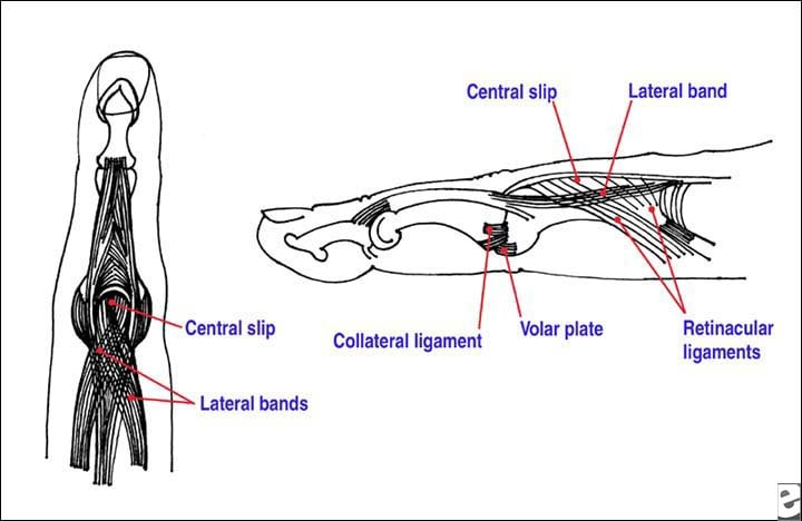 Anatomy of the proximal interphalangeal joint.