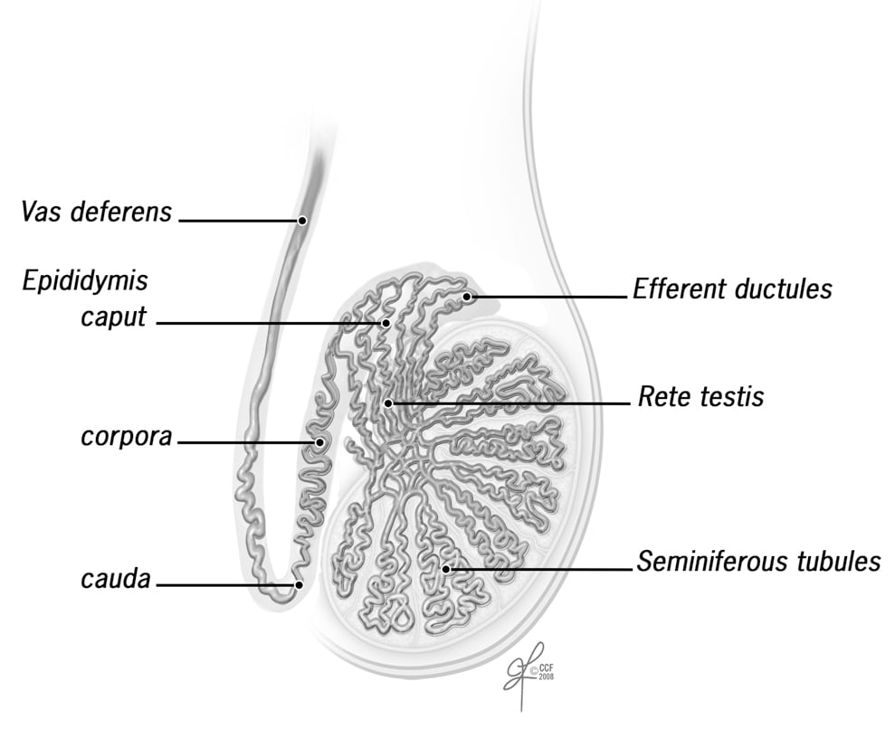 Part B Parts Of The Reproductive System