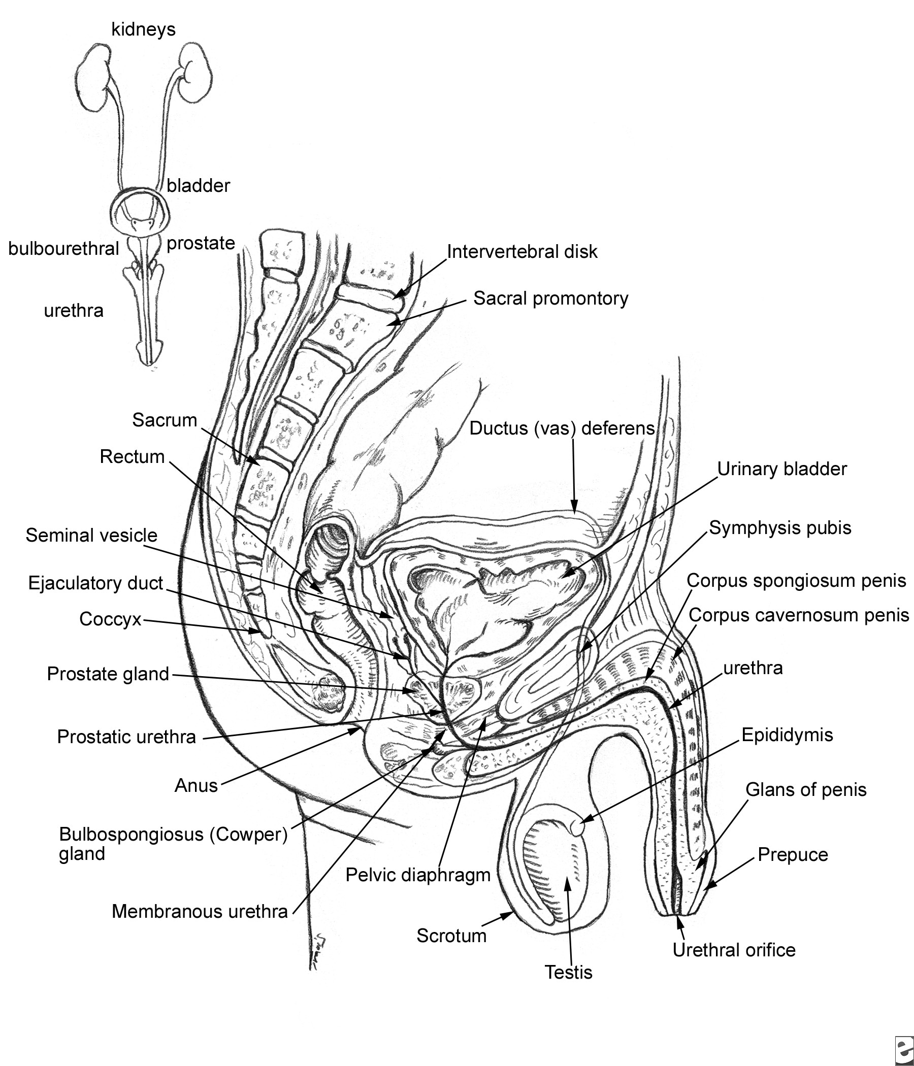 Relevant anatomy of the male pelvis and genitouri...