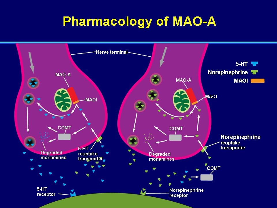 the monoamine oxidase a gene essay Maoa gene is located on the short (p) arm of the black x chromosome at position 113 monoamine oxidase a , also known as mao-a , is an enzyme that in humans is encoded by the maoa gene.