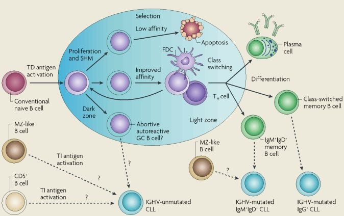 B Cell Activation Germinal Center of autoreactive B cells