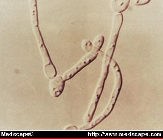 yeast cell slide - photo #35