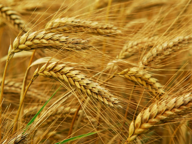 Oral Immunotherapy Promising for Wheat Allergy