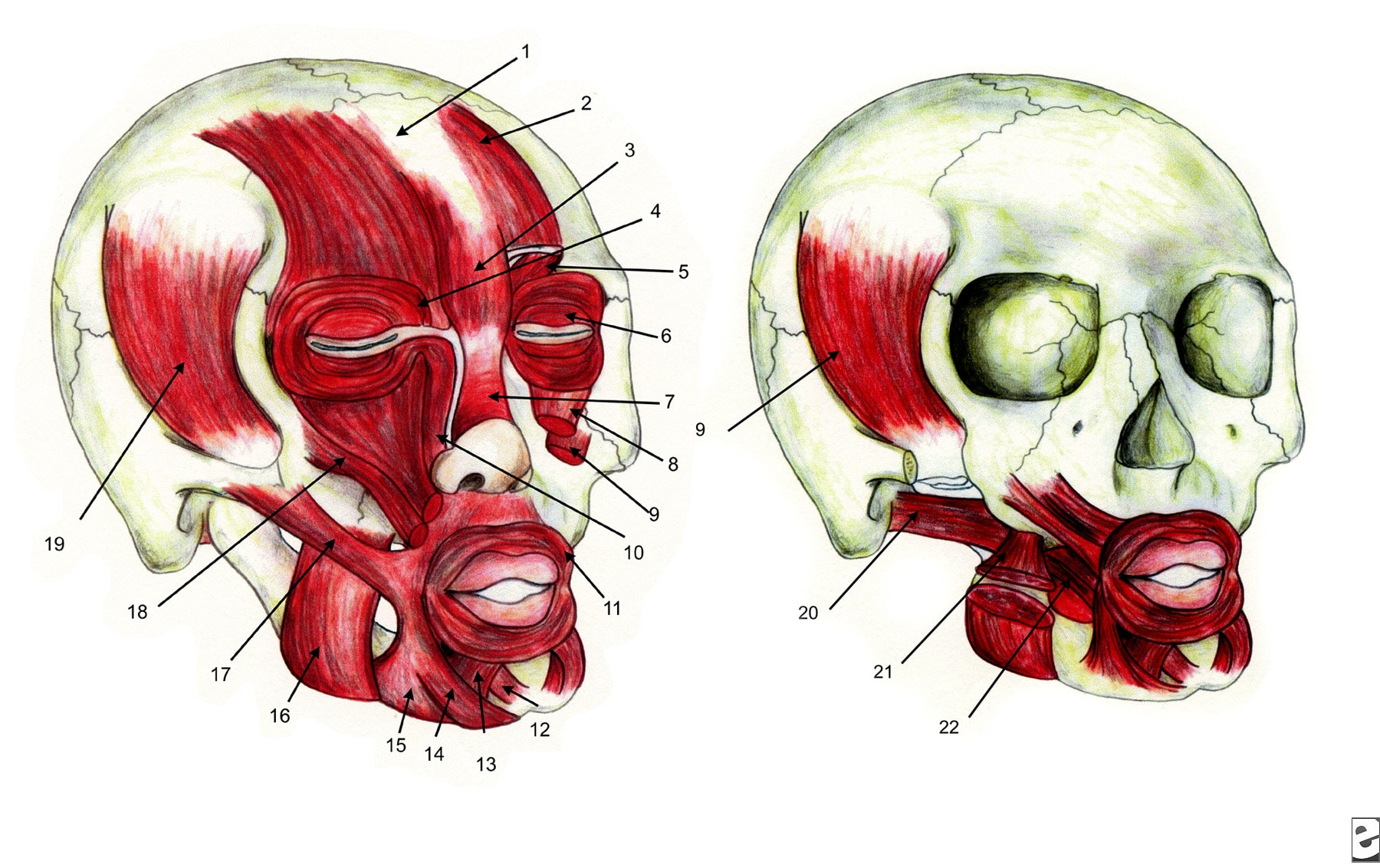 Zygomaticus Major And Minor Origin And Insertion Facial muscles 1    Zygomaticus Major And Minor Origin And Insertion