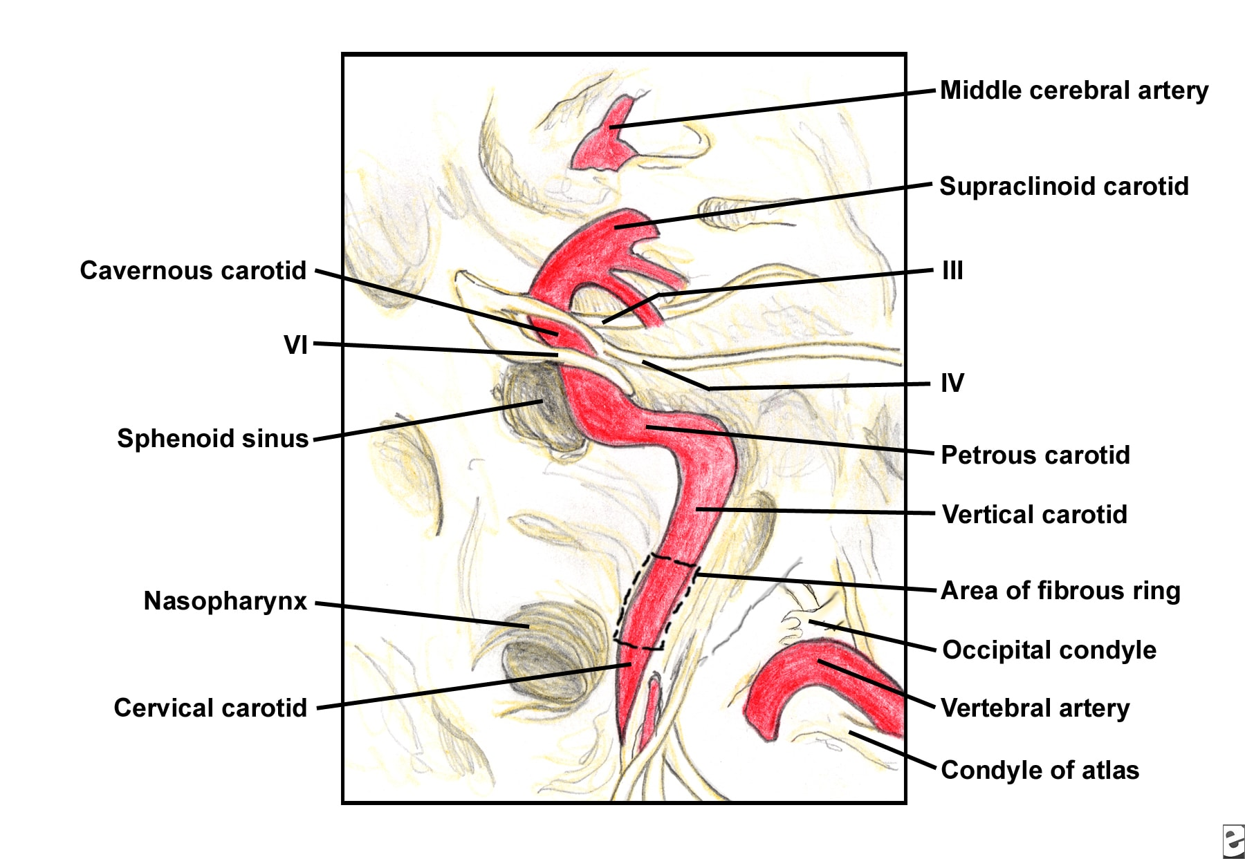 Anatomy of the internal carotid artery 7896684 - follow4more.info