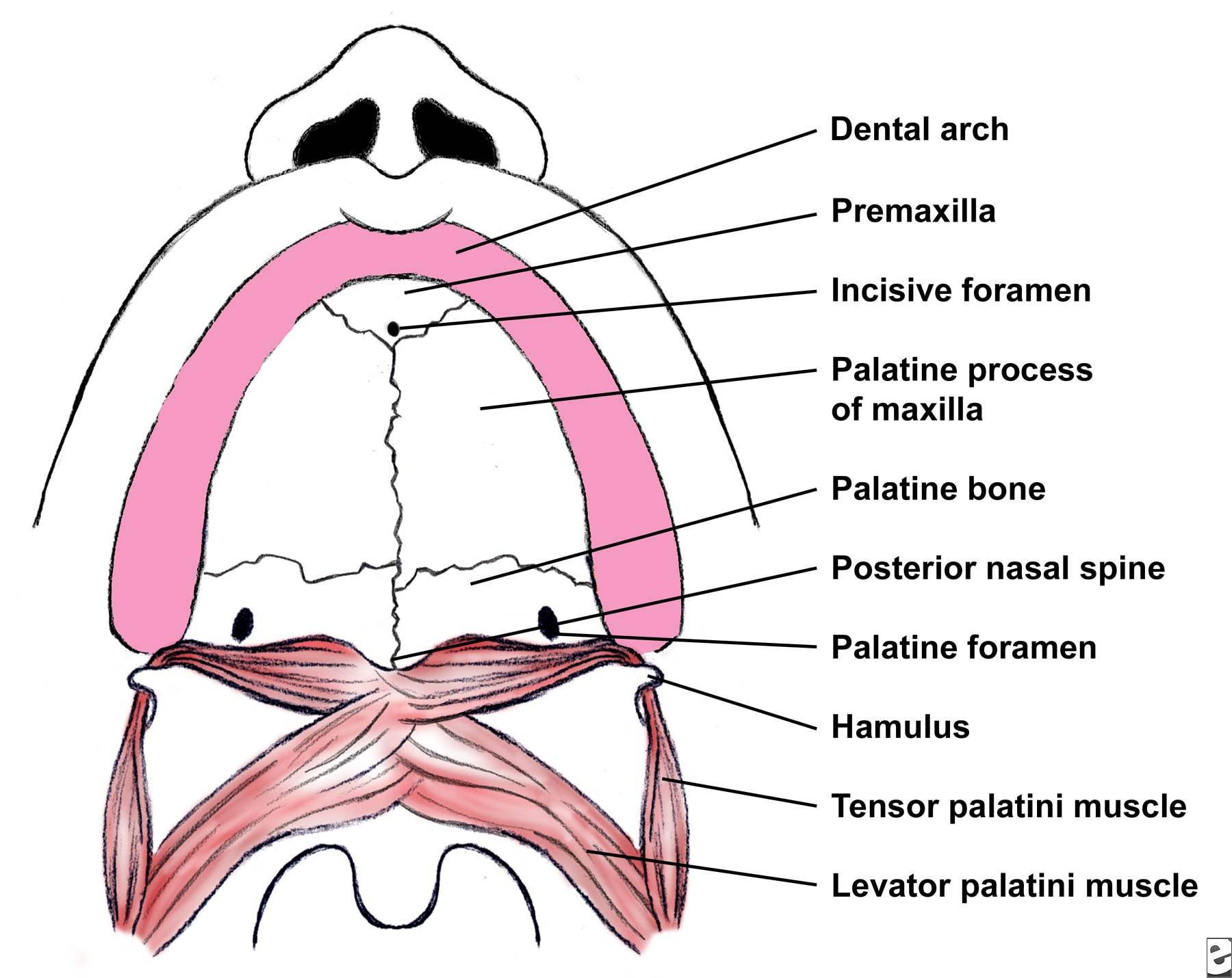 Roof Of Mouth Anatomy 96